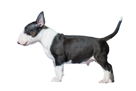 beautiful bull Terrier puppy of black and white color with a straight back at the dog show, on a white background