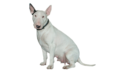 Beautiful bull-terrier isolated on a white background with reflection on the floor