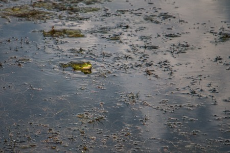 frog sits in the water and waits for the prey