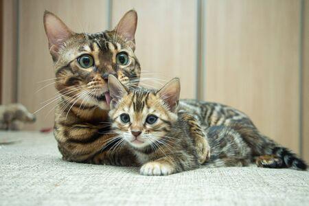 an adult cat caresses its Bengal kitten
