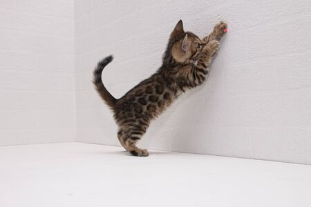 a cute Bengal kitten is playing on a table near the wall