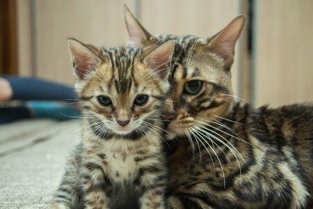 a large adult Bengal cat caresses its kitten
