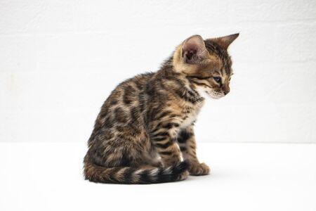 portrait of a cute Bengal kitten two months old