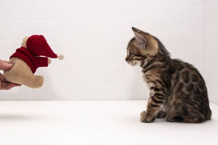 a cute Bengal kitten is playing on a table near a white wall