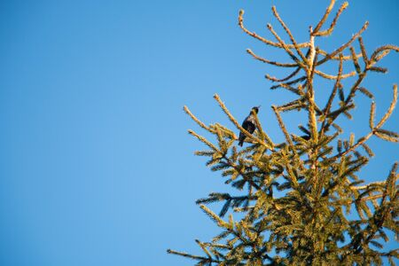 The top of a fir tree on a branch sits a bird against a clear sky and the moon Stok Fotoğraf