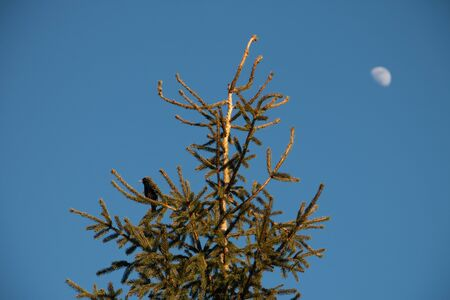 The top of a fir tree on a branch sits a bird against a clear sky and the moon in the evening