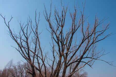Gnarled tree branches against a clear sky in spring