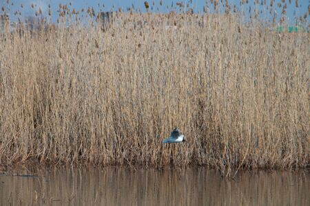 Spring landscape of the lake with dry reeds and melting ice and a flying gull