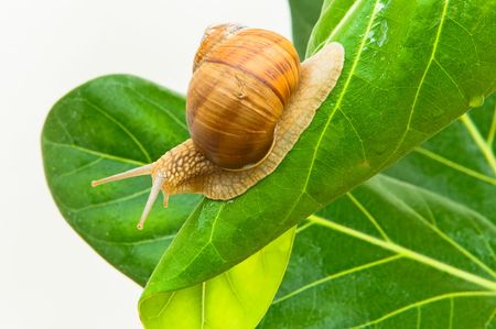 grape snail: Large grape snail with short moustaches creeping on green sheet