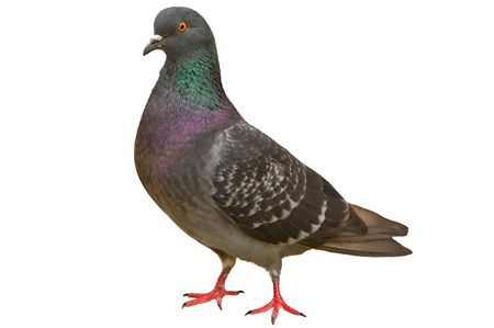 It is proud a costing Latvian blue pigeon on a white background Stock Photo - 5203715