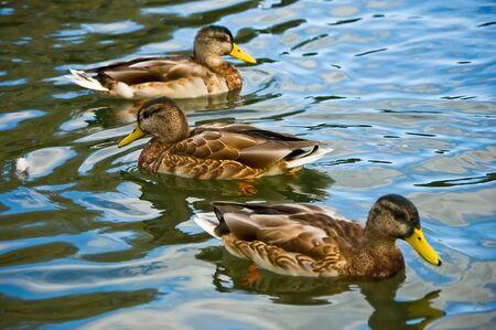 Three ducks floating on a pond focus on average photo