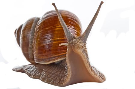 grape snail: Grape snail isolated on a white background