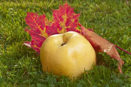 windfalls: Autumn apple on a grass under the fallen down leaves