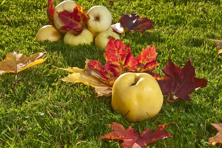 windfalls: Autumn apples on a grass under the fallen down leaves