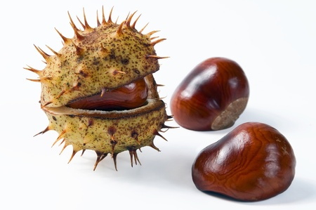 acuminate: Chestnut in the opened green shell isolated on the white