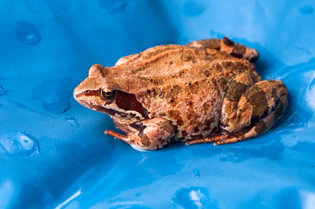 brown frog sitting in the water on a blue background photo