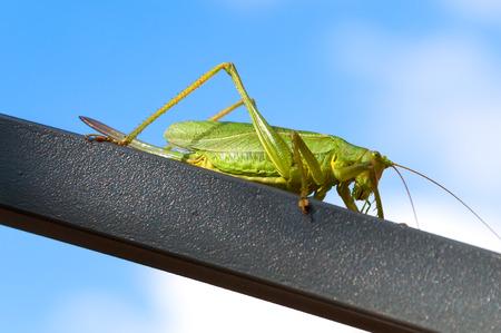 langosta: Gran langosta verde sentado en una barra de metal