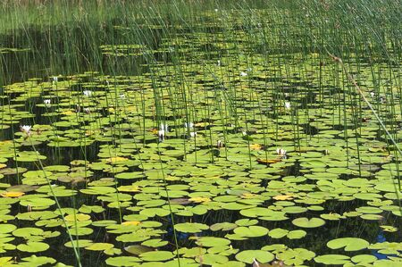overgrown: The surface of the lake overgrown with water lilies Stock Photo