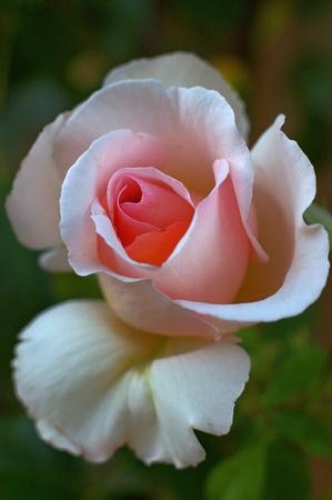 rosa en flor photo