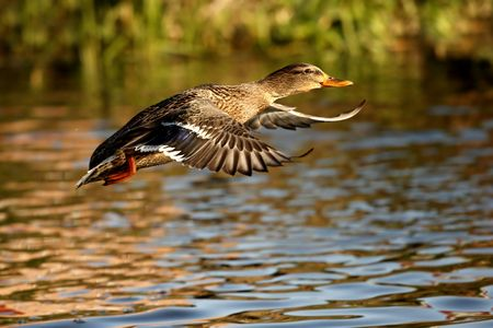 Duck Stock Photo - 2796293