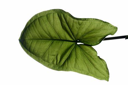 nervation: Leaf  Stock Photo
