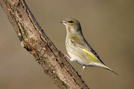 Carduelis chloris photo