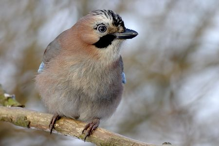 Eurasian jay photo