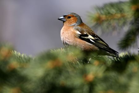 Fringilla coelebs Stock Photo - 2806271