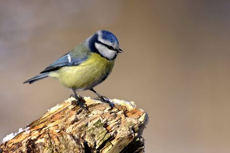 Parus caeruleus photo