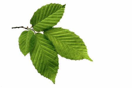 nervure: Leaf
