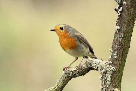 Robin photo