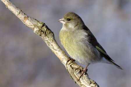 European Greenfinch photo