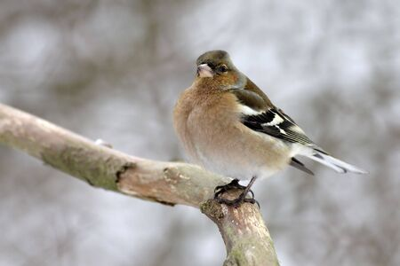 chaffinch: Finches Fringilla coelebs