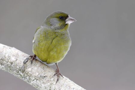 greenfinch: European Greenfinch Stock Photo