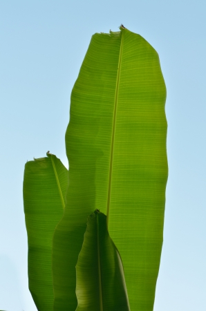 banana leaves on blue sky background  photo
