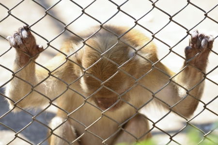 Sad Monkey In A Cage  photo