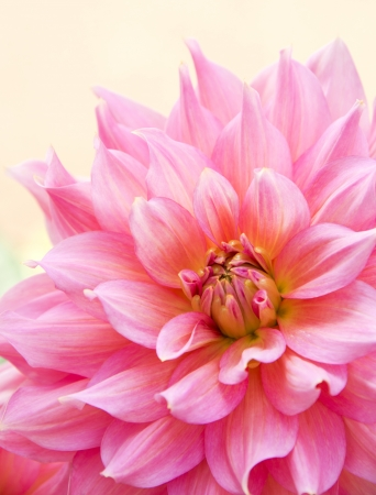 Close up of pink dahlia on white background