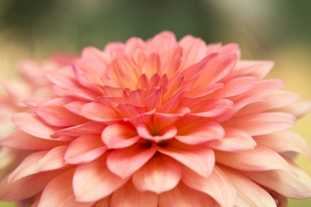 Close up of pink dahlia