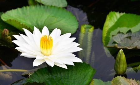 watergarden: White lotus flower in the lake