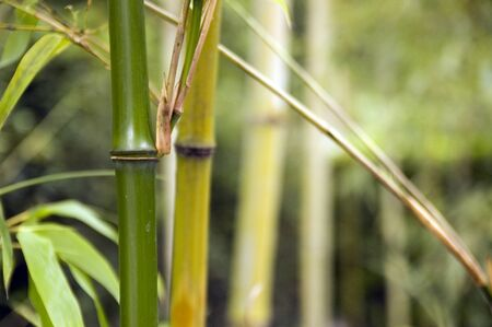 Close-up of bamboo trunks in Japanese forest Foto de archivo