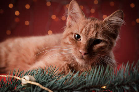 Orange cat laying and looking into the camera on a red pillow, in a Christmas scenario.