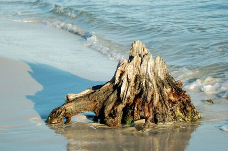 Carabelle Beach, FL Old Cypress Trees now drift wood Imagens