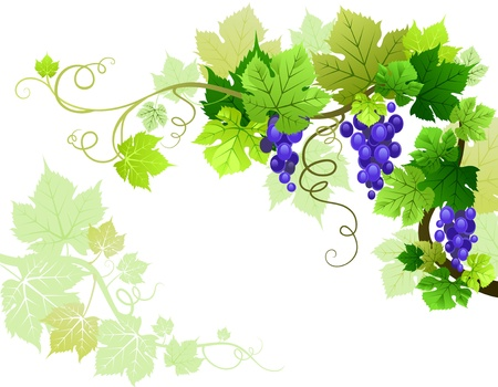 grapes on vine: Grapes