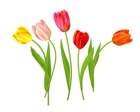 Isolated tulips flowers Vector illustration. Illustration