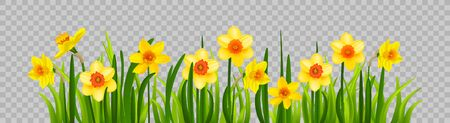 Isolated Easter blossom banner with daffodils Banque d'images - 142183768