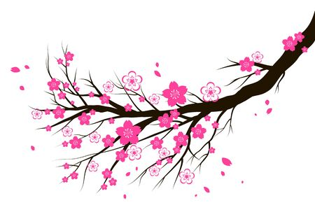 Spring blooming cherry or sakura blossom branch. Seasonal symbol isolated on a white background