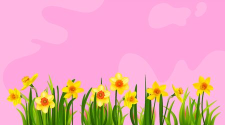 Blooming daffodils on pink abstract background. Spring nature holiday banner with place for text. Banque d'images - 140524492