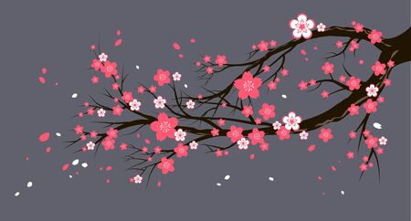 Spring blooming cherry or sakura blossom branch. Seasonal tree with flowers on gray background
