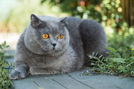 koty: Szary brytyjski kot leżący na zielonej trawie, w tle, cute funny cat bliska, młoda figlarny kot na łóżku, domowego kota, kot, kot relaksujący odpoczynek, kot w domu, elegancki kot