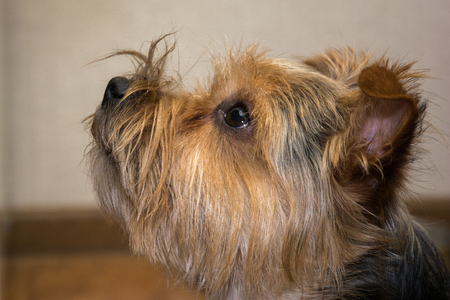 droll: portrait of Yorkshire terrier, green grass Stock Photo